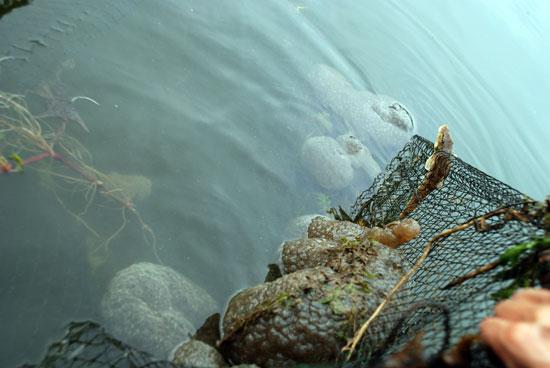 녹조는 폭염 탓  물고기 떼죽음은 미스터리1
