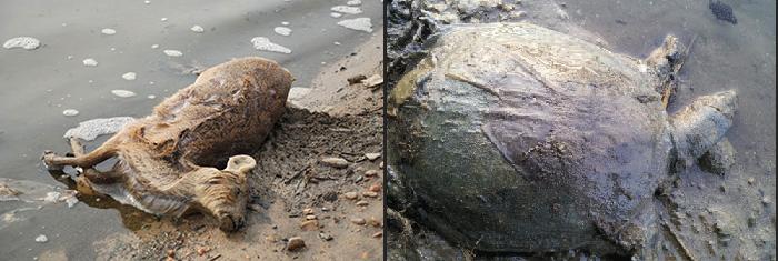 삽질 당한 4대강, 22조원 퍼부어 생태계 파괴 4