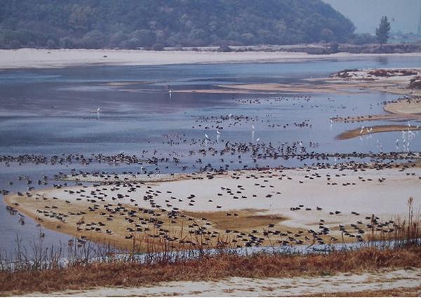 철새가 사라진 철새도래지 낙동강 해평습지1