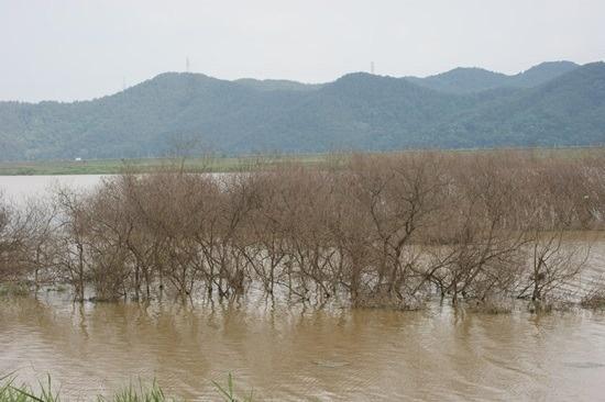 4대강 생태재앙 낙동강 버드나무들의 집단 떼죽음1