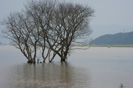 4대강 생태재앙 낙동강 버드나무들의 집단 떼죽음2