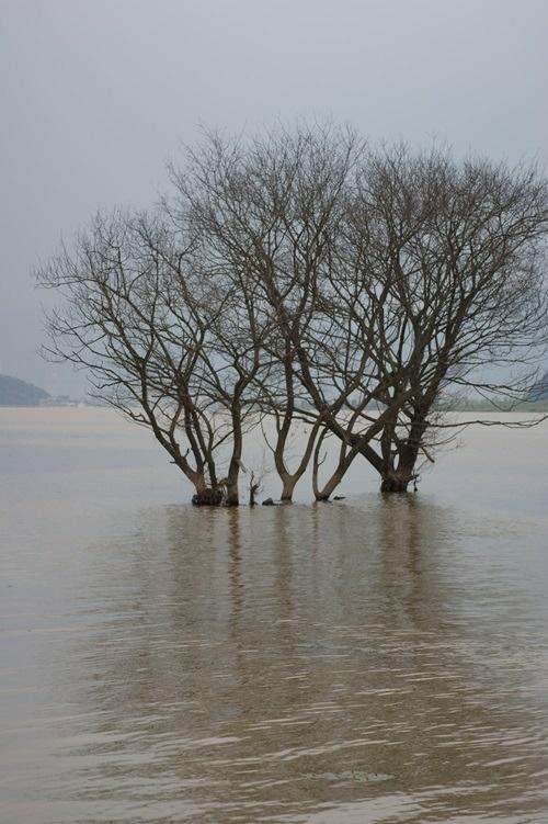 4대강 생태재앙 낙동강 버드나무들의 집단 떼죽음4