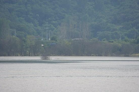 4대강 생태재앙 낙동강 버드나무들의 집단 떼죽음5