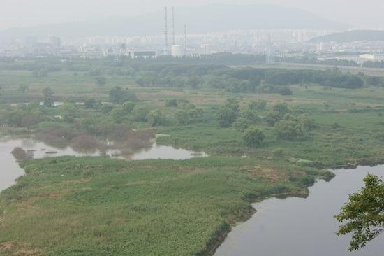 4대강 생태재앙 낙동강 버드나무들의 집단 떼죽음6