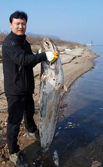 ▲ 지난 2013년 충남 부여군 장하리에서 폐사 상태로 발견된 대형 메기(길이 136.5cm). 유진수 금강을지키는사람들 운영위원장이 죽은 물고기를 들고 있다. ⓒ 김종술