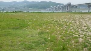 20150714_남한강 이포보 모래대신 잡초