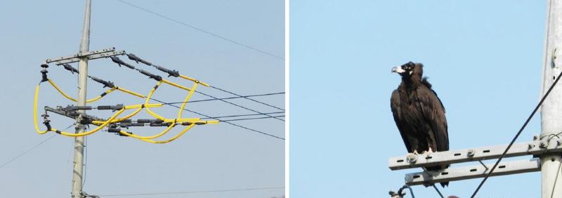 독수리 보호를 위해 설치한 전봇대의 절연장치에 앉아있는 독수리 ⓒ 파주환경연합 정명희