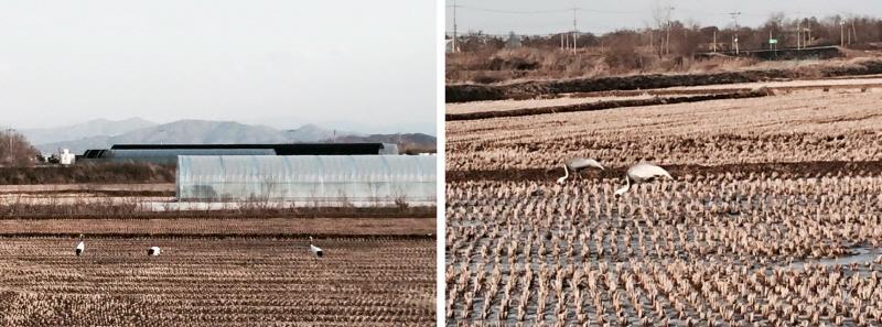 철원 민통선 내 먹이를 섭취 중인 두루미와 재두루미들 ⓒ 환경연합 김춘이