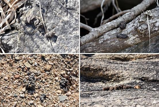 또다른 야생동물의 배설물. 주변 곳곳에 다양한 배설물들이 많았다.Ⓒ 정수근