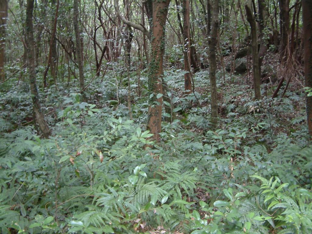 ▲ 선흘곶자왈 내부. 곶자왈 하부 식생은 고사리가 차지하고 있다. 곶자왈에는 우리나라 양치식물의 80%가 산다. 겨울철에도 곶자왈이 초록숲인 이유는 고사리와 상록활엽수가 있기 때문이다.ⓒ제주환경운동연합