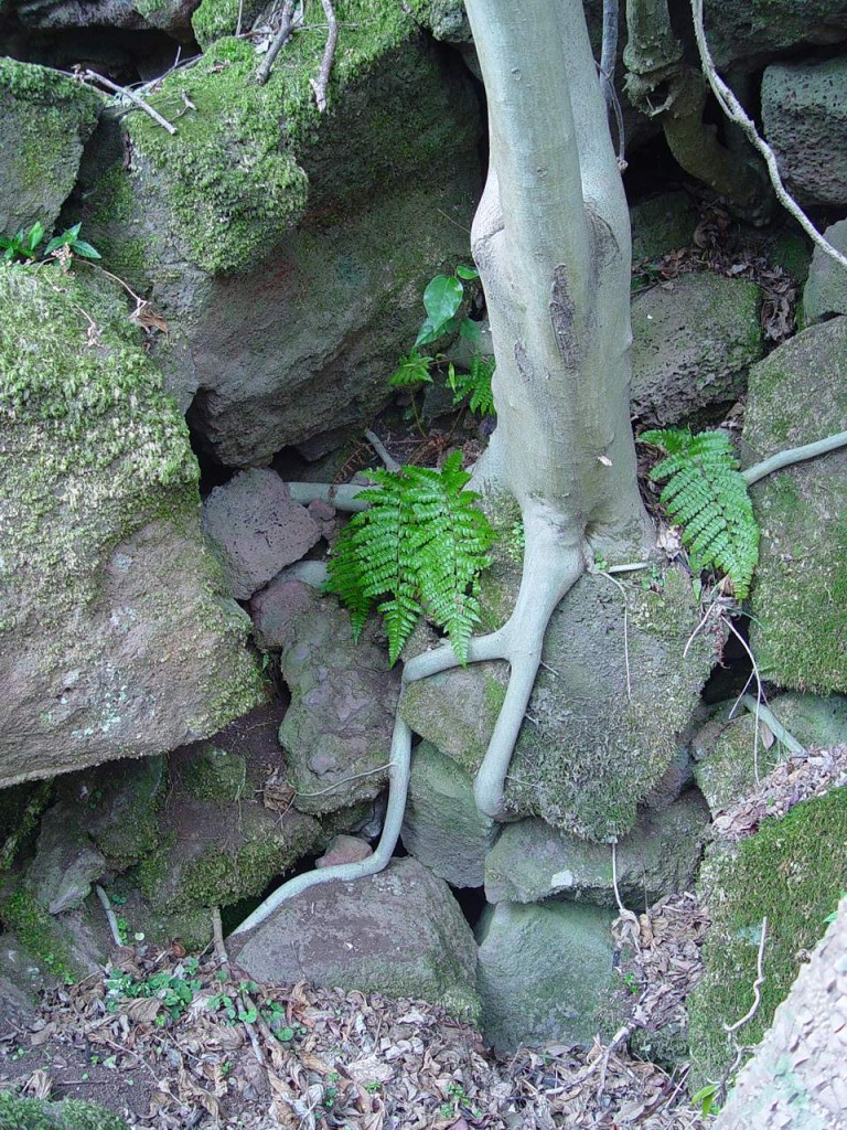 ▲ 천선과나무. 곶자왈은 바위위에 자란 독특한 숲이다. 천선과나무의 뿌리가 바위를 감싸 안고 살아가고 있다. ⓒ제주환경운동연합
