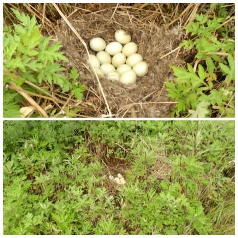 흰뺨검둥오리 알 흰뺨검둥오리 알. 둥지가 풀 사이에 숨겨 있다.ⓒ 정한철