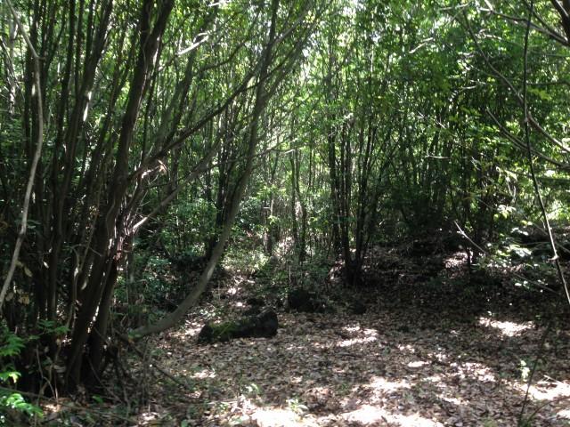 ▲ 5다려석산숲. 다려석산 사업예정지는 선흘곶자왈의 특징인 종가시나무 2차림의 식생을 보이고 있다.ⓒ제주환경운동연합