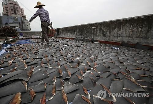 홍콩의 한 건물 옥상에서 상어지느러미를 말리는 모습(AP=연합뉴스 DB)