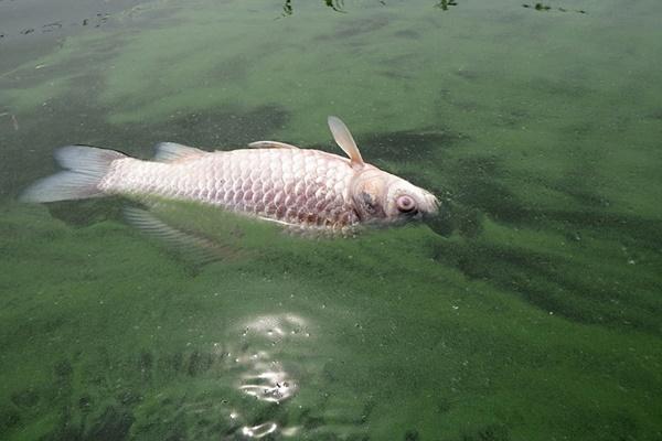 녹조가 짙게 핀 낙동강에 붕어 한 마리가 죽어 떠올랐다. 남조류의 맹독성물질로 인한 폐사를 생각해 볼 수 있다. ⓒ 정수근