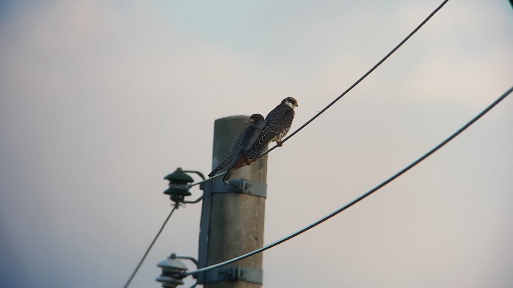 ▲ 전깃줄에 앉은 비둘기조롱이 전깃줄에 앉아 있는 비둘기조롱이ⓒ정지현