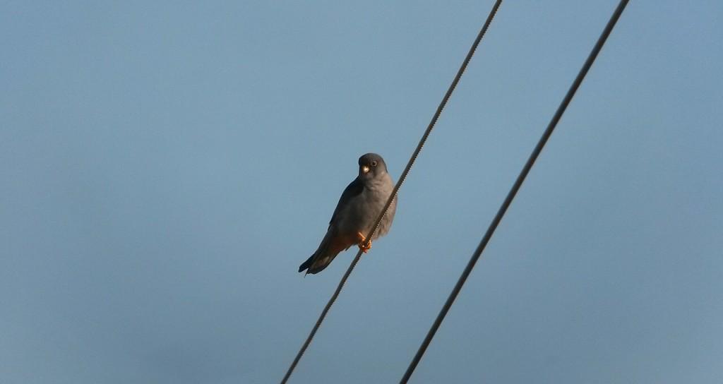 ▲수컷 비둘기조롱이가 전깃줄에 앉아 있는 모습 ⓒ정지현