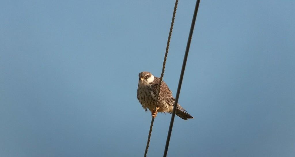 ▲암컷비둘기조롱이가 전깃줄에 휴식을 취하고 있다. ⓒ정지현