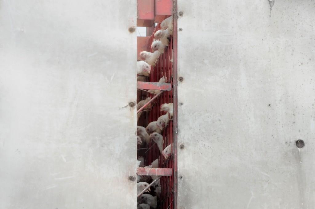 조류인플루엔자(AI) 유입 원인이 철새라고 하더라도, 확산에 대한 책임을 철새에게 돌리는 것이 책임 회피로 보인다. 밀집되고 열악한 사육 환경과 사료·생산물 유통과정에서의 방역시스템을 개선해야 한다. ⓒ이경호