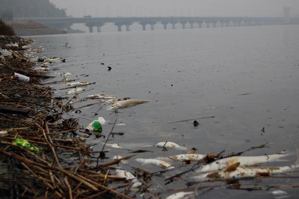 2012년 늦가을에 일어난 물고기 떼죽음. 규모의 차이는 있지만 매년 연례행사처럼 일어나고 있다.ⓒ대구환경운동연합