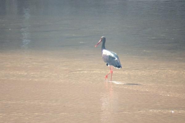 얕은 물길에서 눈으로 보고 물고기를 사냥하는 먹황새에게는 물길이 깊어지고 탁수가 흐르는 내성천은 생존에 치명적일 수밖에 없다. ⓒ 정수근