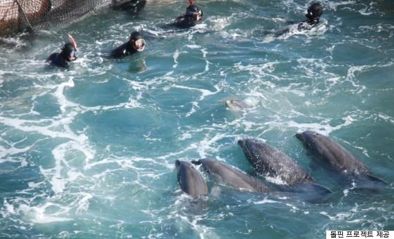 일본 다이지에서는 전 세계 수족관으로 보낼 전시공연용 큰돌고래 사냥이 벌어진다. 지난 20~24일 일본 다이지에서 벌어진 돌고래 사냥. 250마리를 만으로 몰아 그 중에서 선별 작업을 벌이고 있다. 닷새 동안 100마리가 잡혔다. ⓒ한겨레 남종영기자