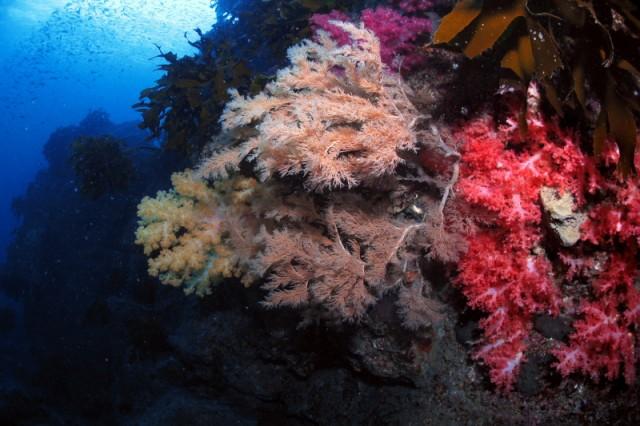 훼손되기 전의 강정등대 연산호 군락지 ⓒ 연산호조사 TFT