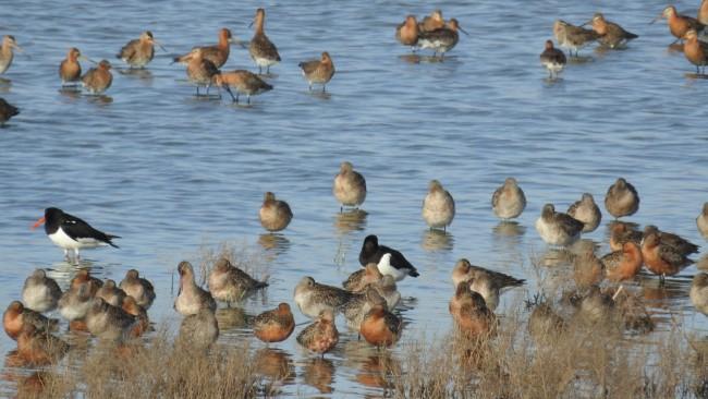 화성호의 검은머리물떼새와 도요새들 ©정한철