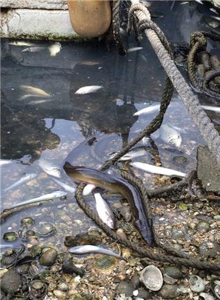 새만금 물고기 폐사 모습. ⓒ이정현