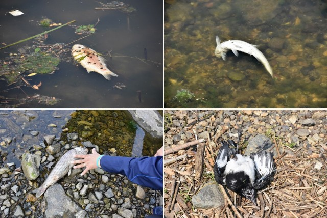 물고기들이 죽어나는 낙동강, 수시로 물고기가 죽어나는 강운 결코 정상이 아니다. 이런 강물을 우리가 마시고 있다 ⓒ 대구환경연합 정수근