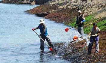 s미역밭 물주기 (20130609, 독거도, 홍선기 촬영)