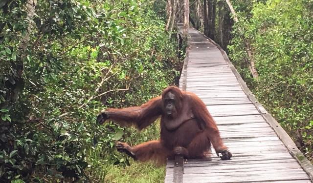 탄중푸틴국립공원_오랑우탄