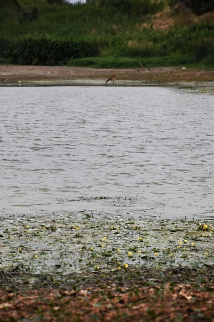 녹조범벅 낙동강에서 녹조라떼 강물을 마시고 있는 고라니 한 마리 ⓒ 대구환경연합 정수근