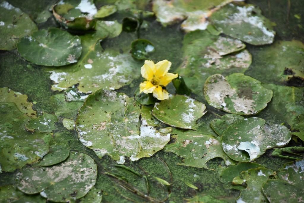 녹조밭 속에 핀 노란꽃. 이쁜 자라풀이 녹조로 범벅이 되어 있다. 낙동강을 이지경으로 만든 MB에게 바치고 싶다. ⓒ 대구환경연합 정수근