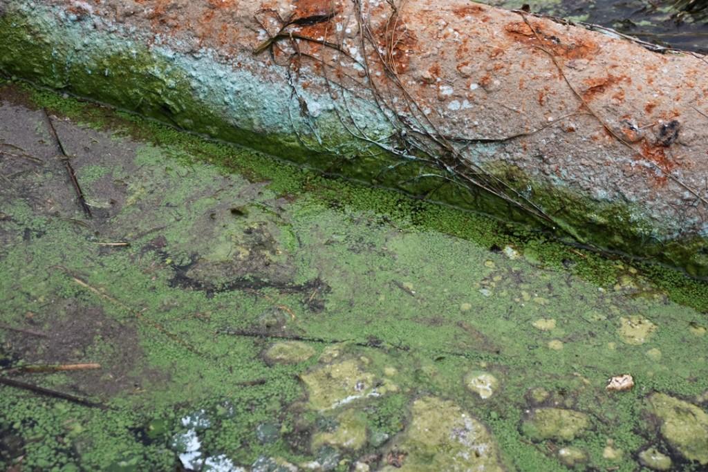 녹조 범벅이 되어 있는 낙동강ⓒ 대구환경연합 정수근