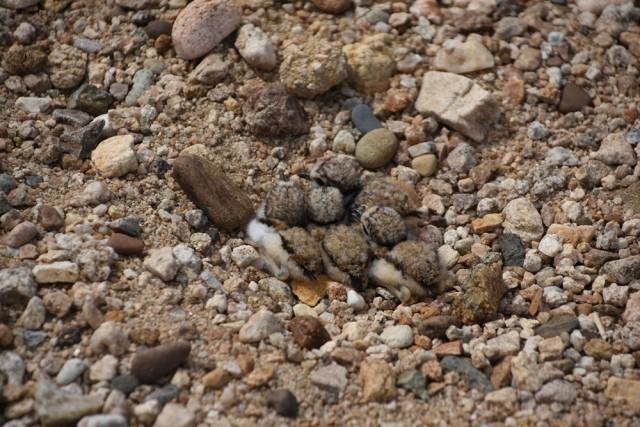 4대강의 희망을 본다. 쌓인 모래와 그 모래 위에 알이 부화한 평화로운 모습 ⓒ 대구환경운동연합 정수근