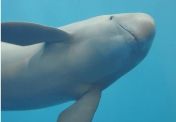 서해와 남해 연안에 서식하는 돌고래 상괭이. 밀물에 맞춰 한강으로 올라오곤 한다. ⓒkuribo flickr
