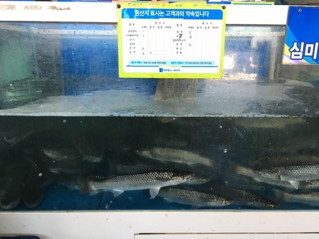 한강 전류리에서 잡힌 바다물고기 숭어ⓒ김준성