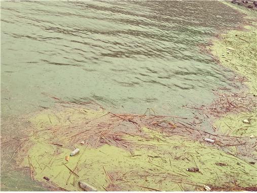영산강 영산포에서 죽산보 방향으로 3km내려온 구진포 역시 녹조가 심각하다. ⓒ광주환경운동연합 최지현