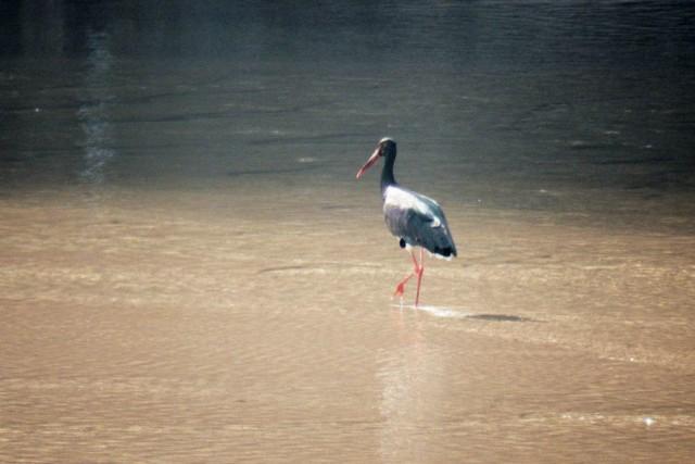 매년 내성천을 찾아오는 천연기념물이자 멸종위기종인 먹황새. 이 귀한 새가 찾는 유일한 곳 내성천. 이 귀한 새를 위해서라도 내성천을 국립공원으로 지정해야 한다ⓒ 대구환경운동연합 정수근