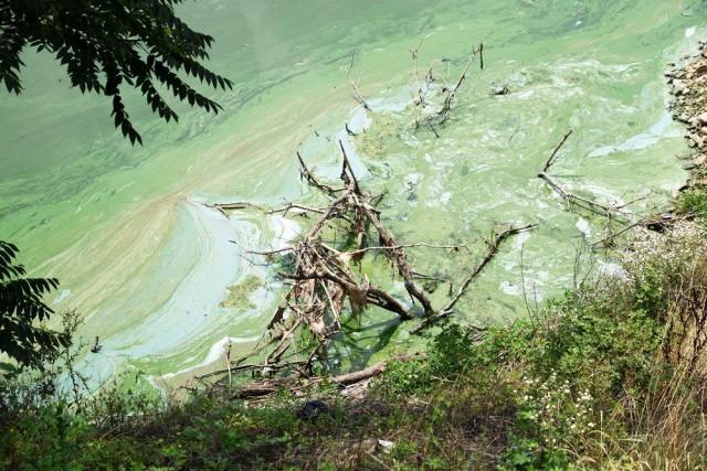 녹조띠를 넘어 녹조 곤죽에 이른 낙동강 ⓒ 정수근