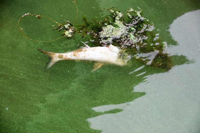 녹조와 물고기 떼죽음. 녹조의 맹독성물질로 인한 떼죽음일 가능성도 있다. 다각도의 점검이 필요하다ⓒ 정수근