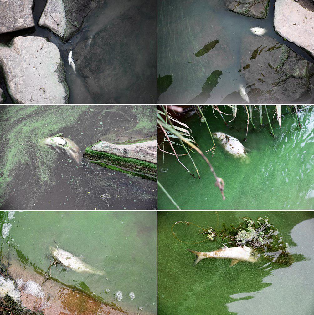 강 가장자리로 죽은 물고기가 길게 늘어서 있다. ⓒ 정수근