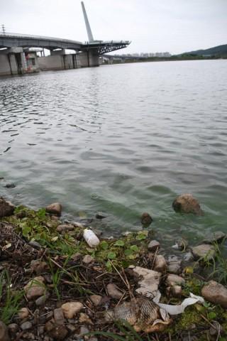 비가 내리는 날임에도 강정고령보 상류에 녹조가 피어올랐다. ⓒ대구환경연합 정수근