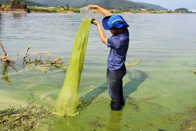 녹조라떼로 만든, 녹조 기둥 ⓒ 최병성