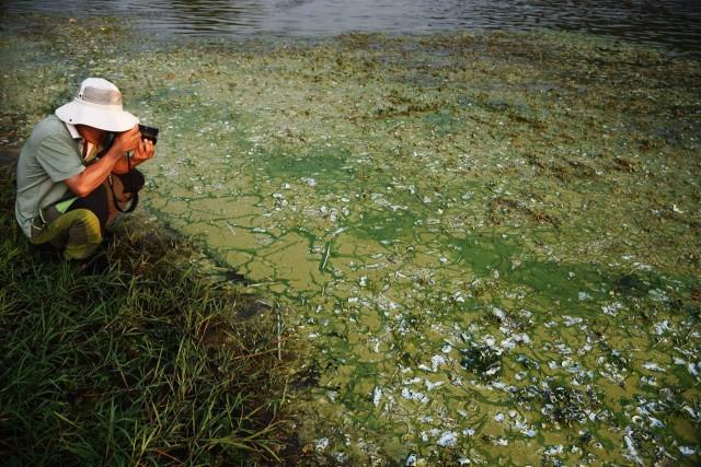 어리연꽃이 자란 호수가 된, 낙동강에 녹조가 가득 피었다 ⓒ 대구환경연합 정수근