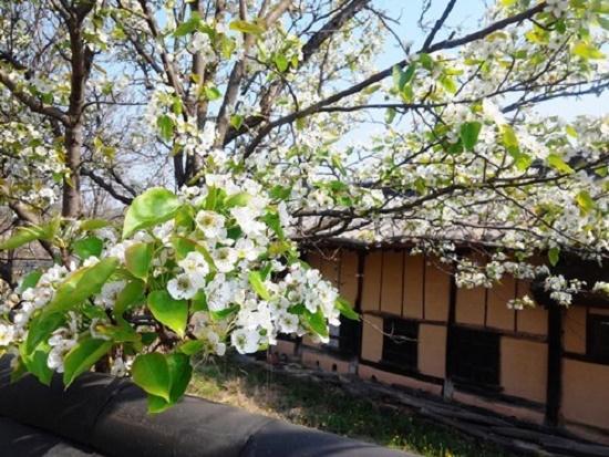 금강마을 한 고택 뒤꼍에 흐드러지게 꽃을 피운 과일나무도 수몰의 운명은 몰랐을 것이다. ⓒ 카리나 슈마허