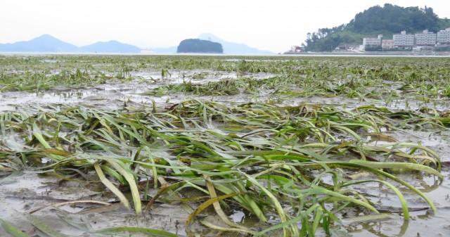 산업단지가 지정되면 사라질 거제 사곡만의 보호식물 잘피밭 ⓒ장용창