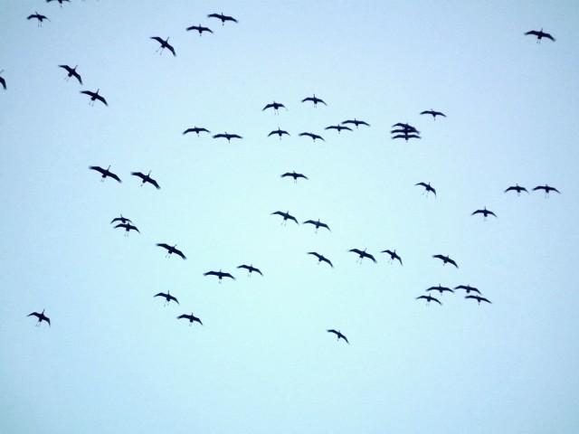 낙동강을 찾은 겨울진객 흑두루미들이 상공으 선회비행하면서 내려앉을 준비를 하고 있다. ⓒ 정수근