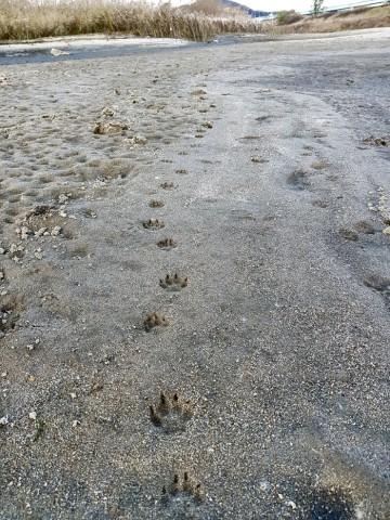 물 빠진 모래톱엔 천연기념물 수달의 발 도장이 찍혀있다.ⓒ 김종술